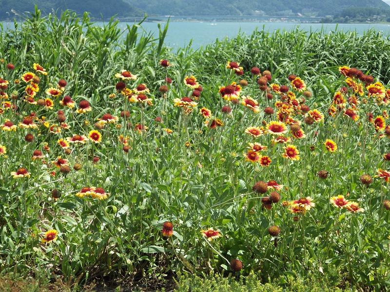 花の向こうは河口湖