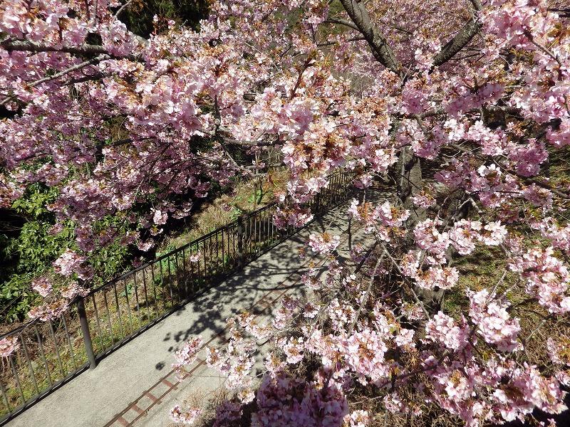 桜の下のレール
