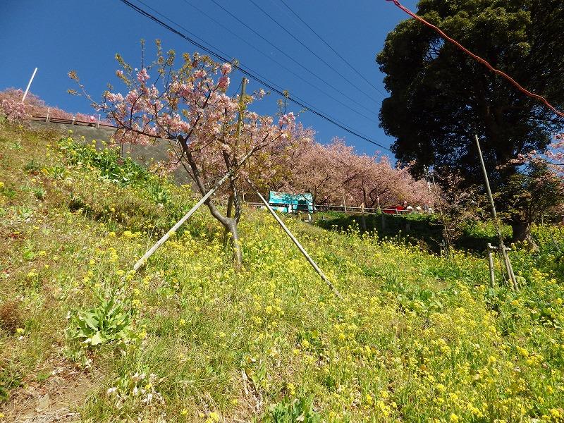 松田山の河津桜と菜の花
