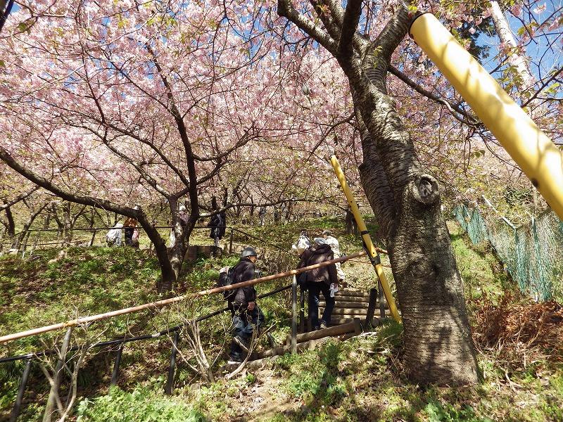 松田山の河津桜を見ながら階段を登る