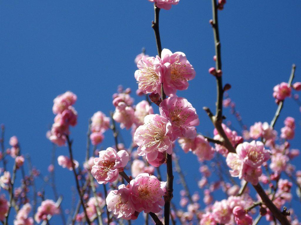 桃色の梅も可愛らしいです
