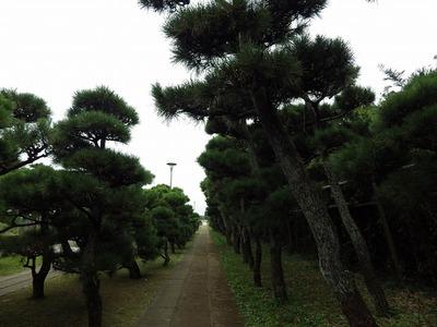 城ヶ島公園の松の道