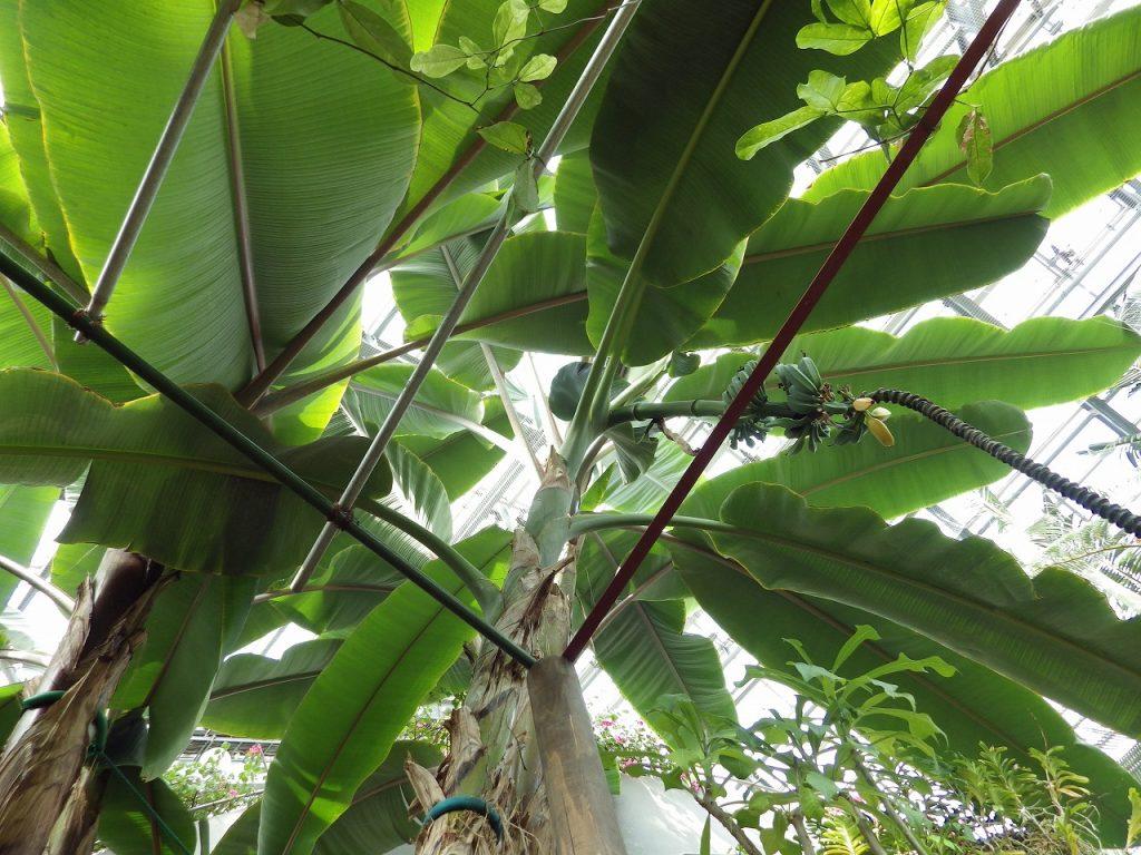 芭蕉の葉っぱはとても大きい