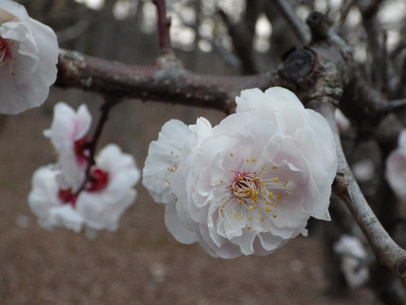 梅の花(花びら多め)