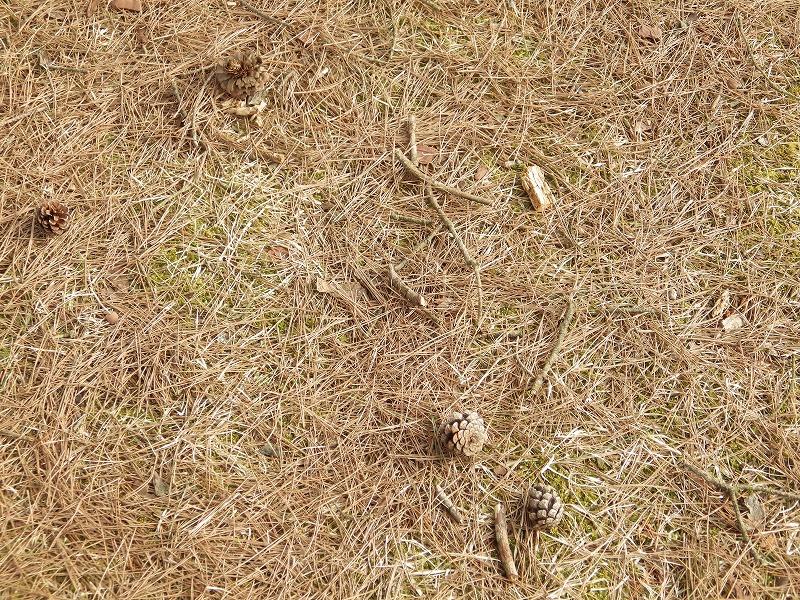 松葉と松ぼっくりの地面