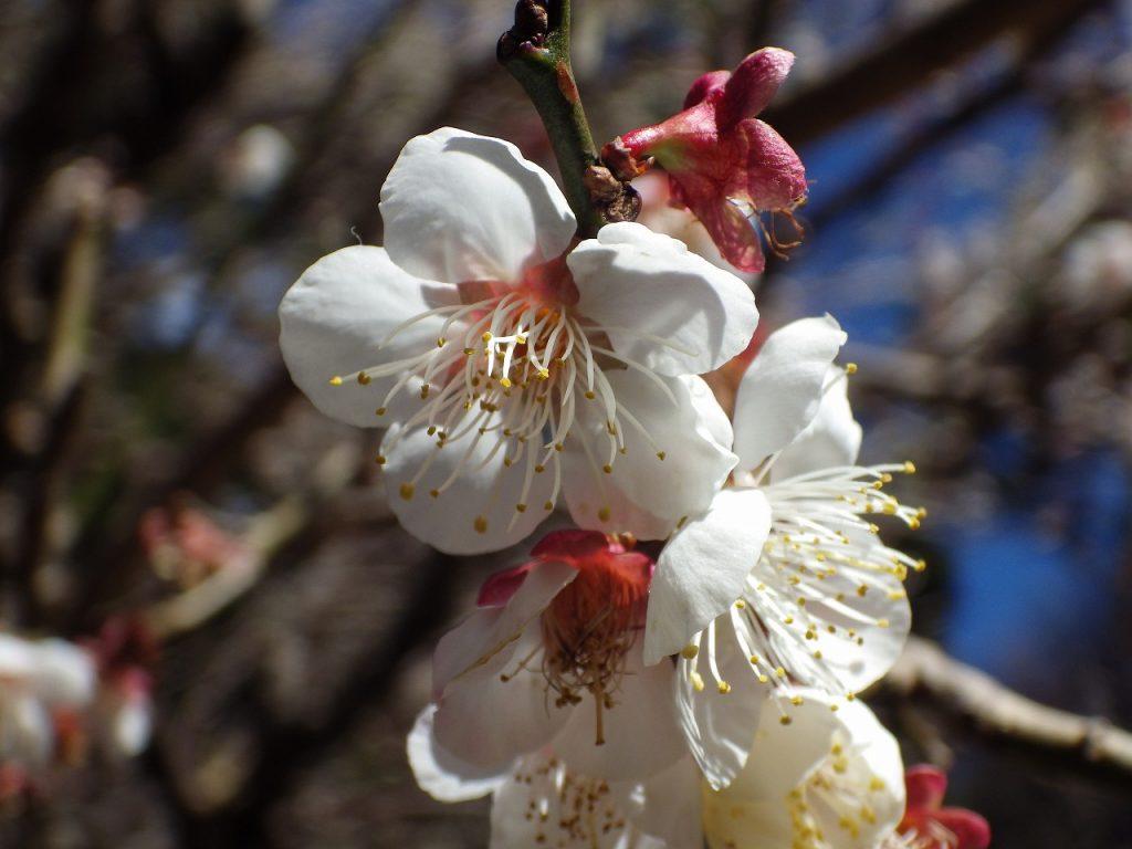 熱海梅園の梅の花