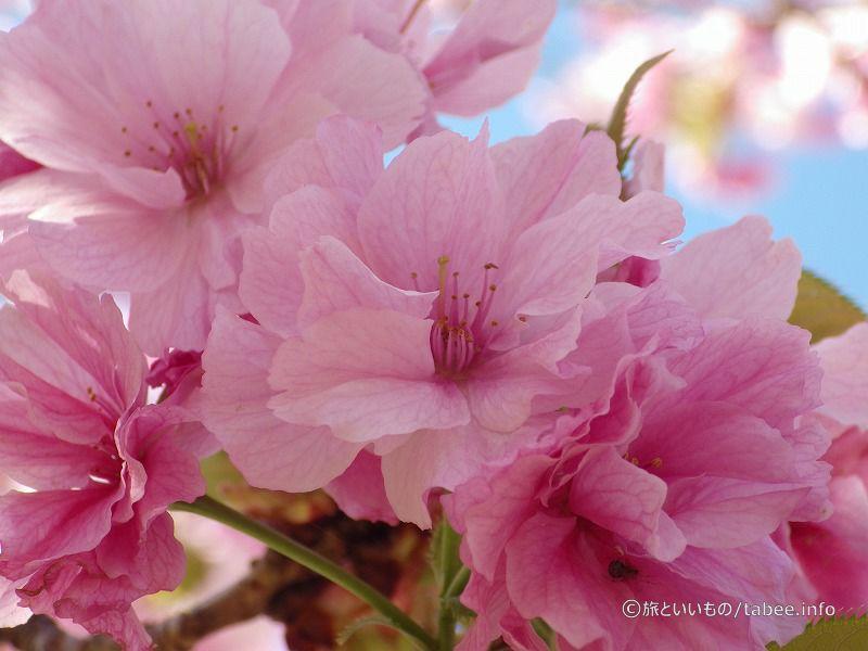 八重桜綺麗です