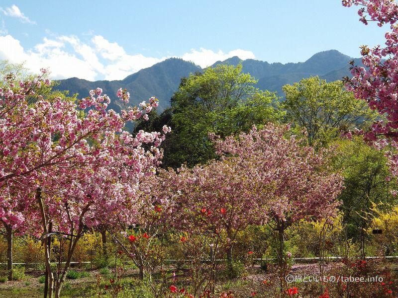 八重桜、ツツジ、レンギョウ