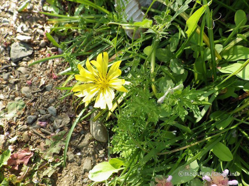 野の花(ジバシリ)