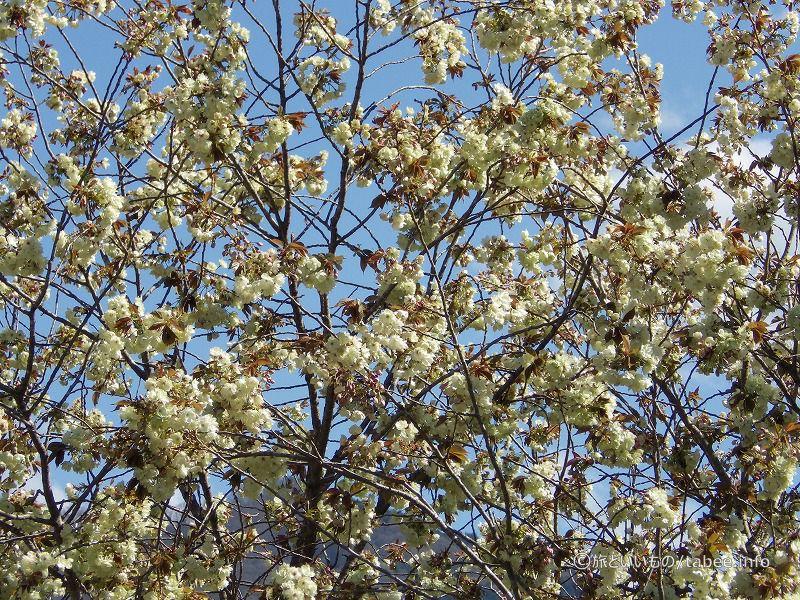 黄緑色の桜