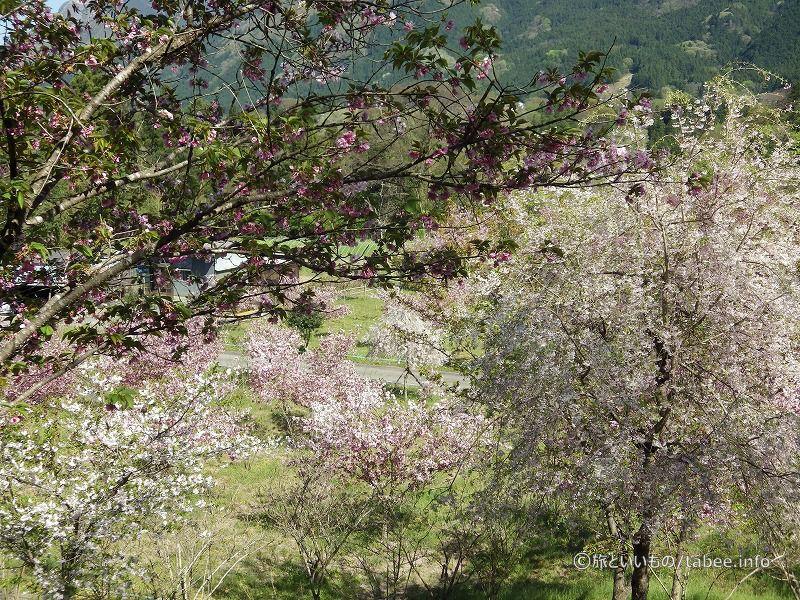 八重桜がハラハラと散っていました