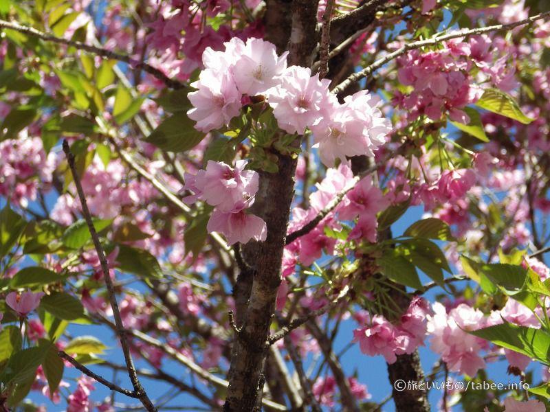 4月23日の八重桜の感じ
