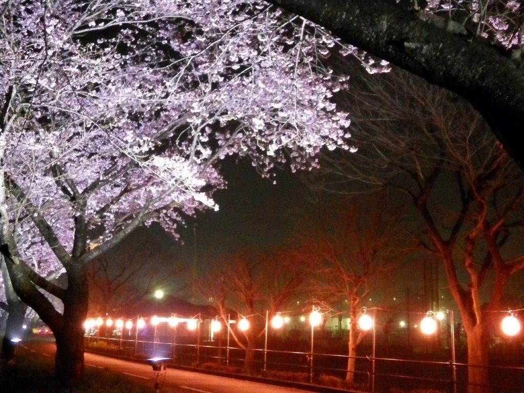 ライトアップ桜と、ちょうちん