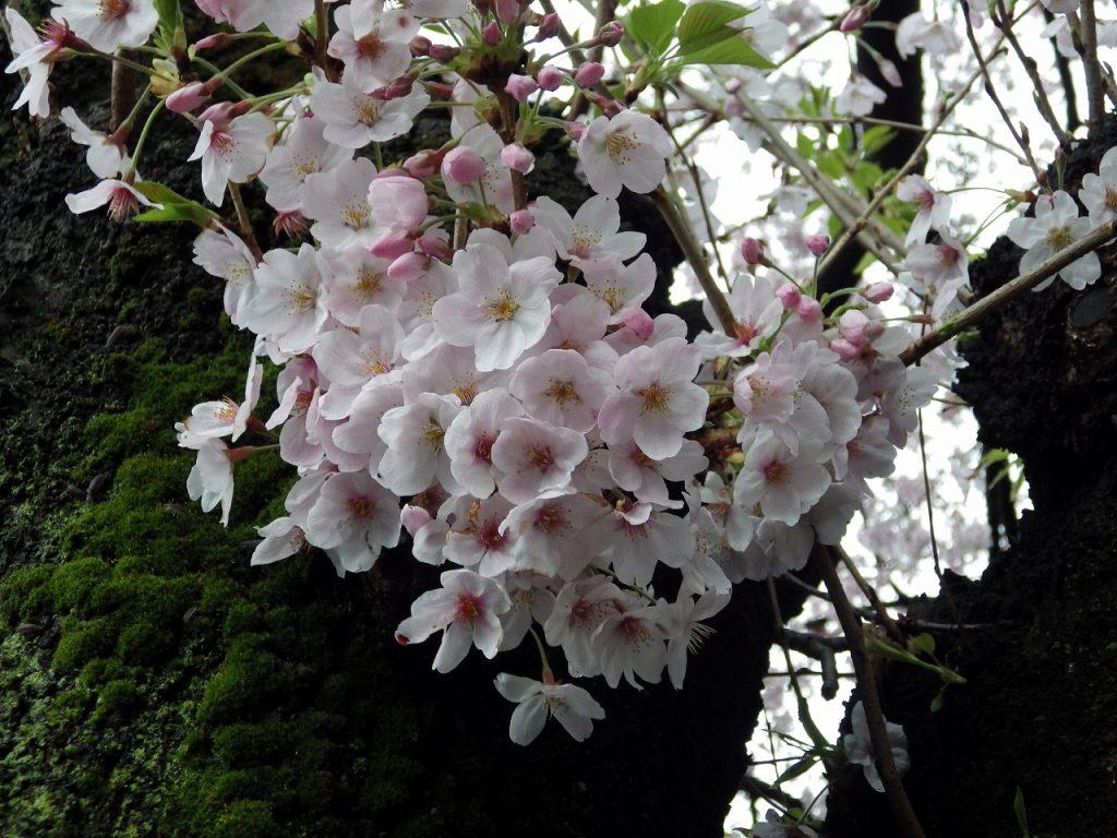 木肌に桜のドレス