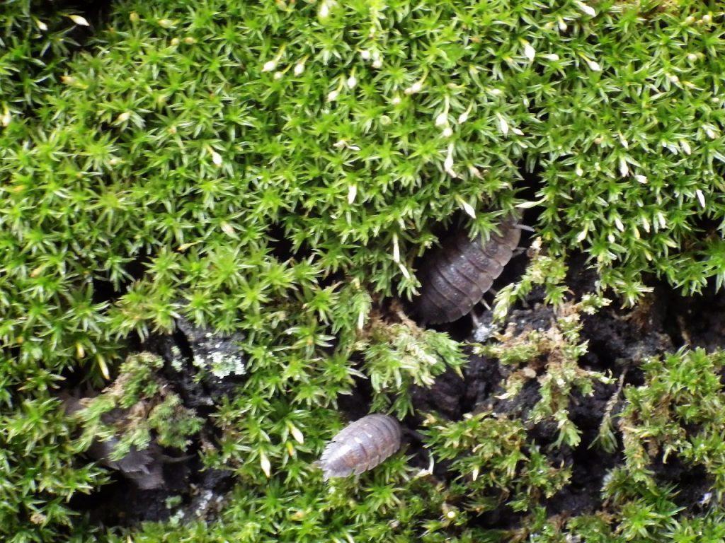 苔の中のワラジムシ