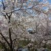 名栗川の桜
