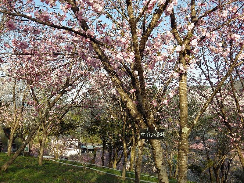 松前紅豊桜