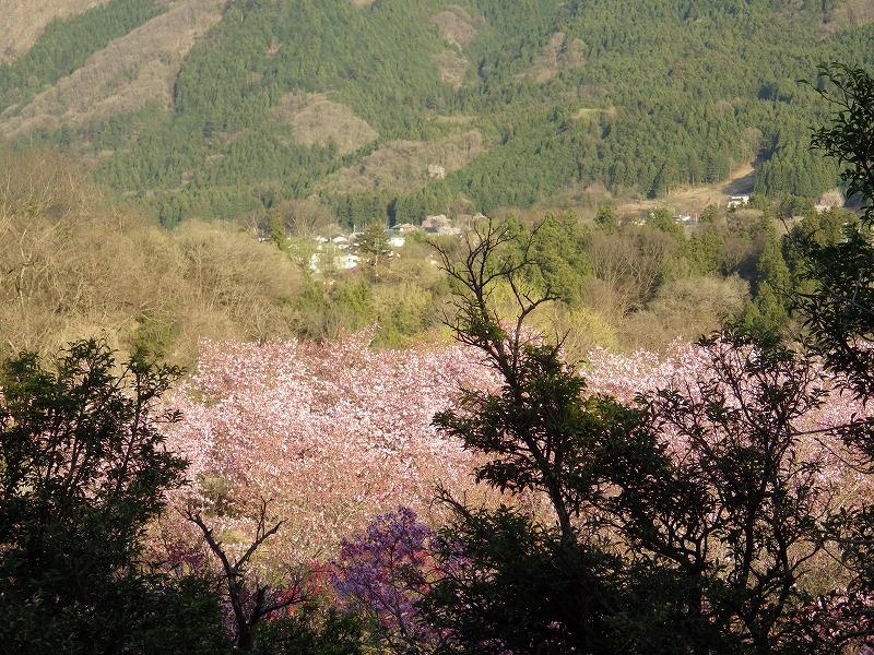 八重桜のピンクでメルヘンな風景