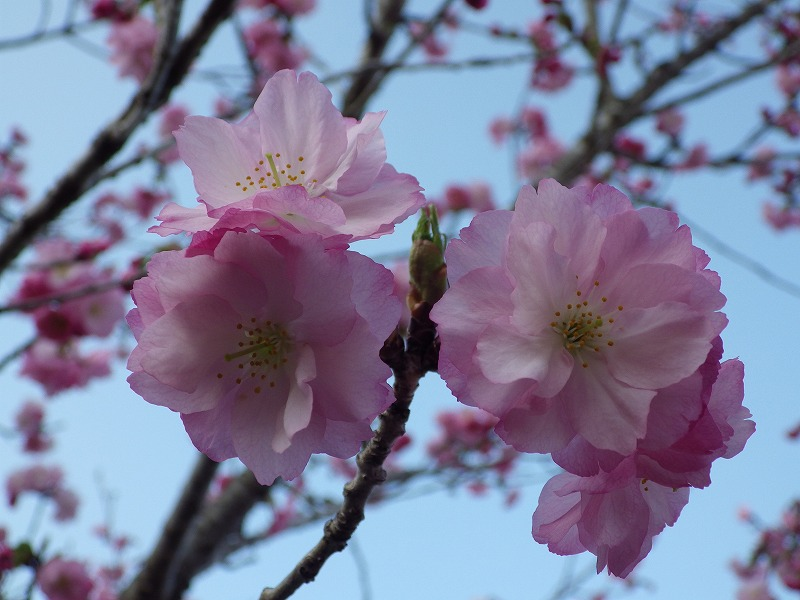 松前紅豊桜アップ