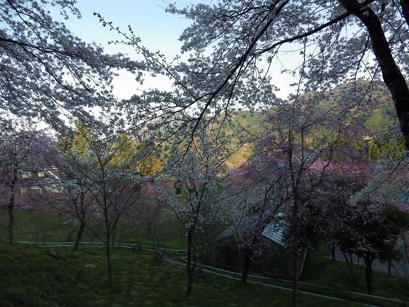 ソメイヨシノはハラハラと散って美しかったです