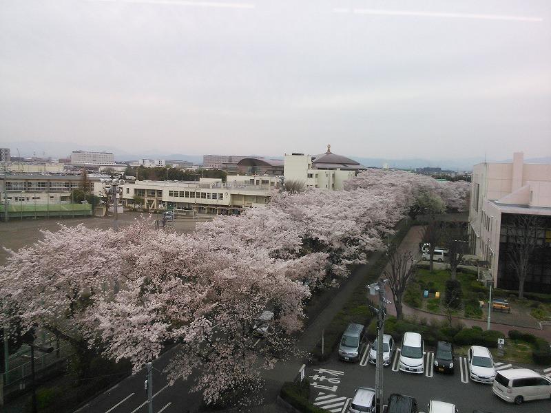 移動する車中から見た桜並木
