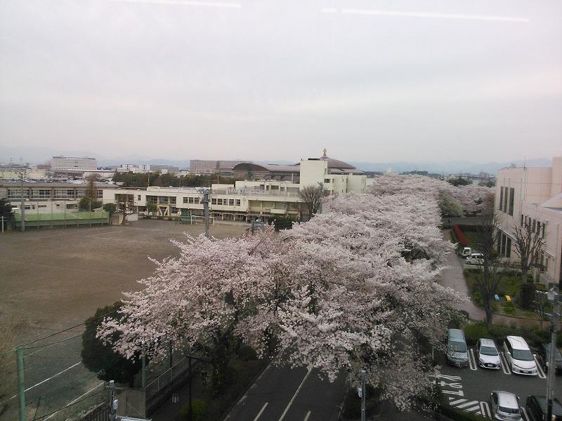 移動する車中から桜並木2