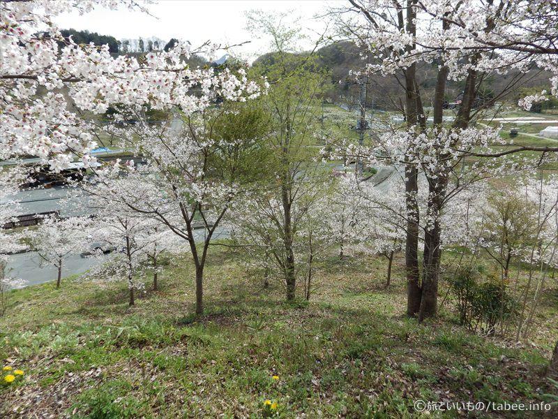 メリーゴーランド付近の桜