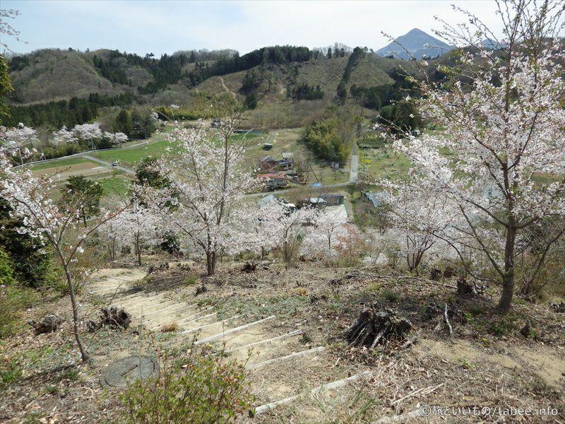降りる途中の桜1