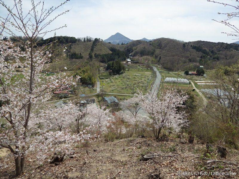 降りる途中の桜2