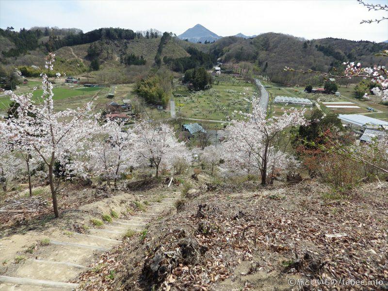 降りる途中の桜3
