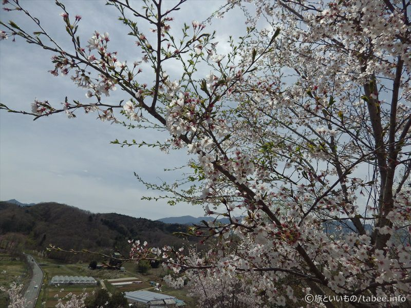 降りる途中の桜4
