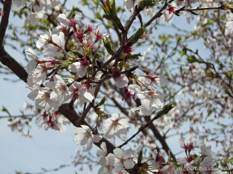 降りる途中の桜5