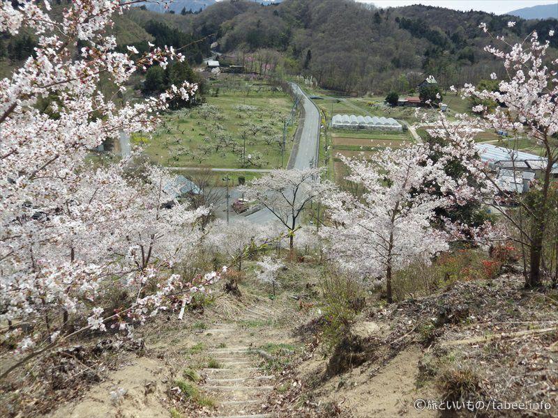 降りる途中の桜6