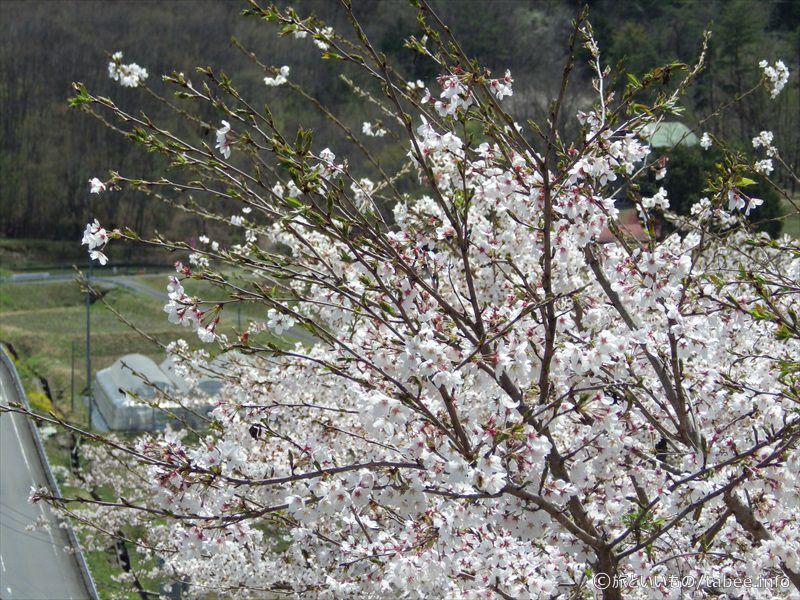 降りる途中の桜7