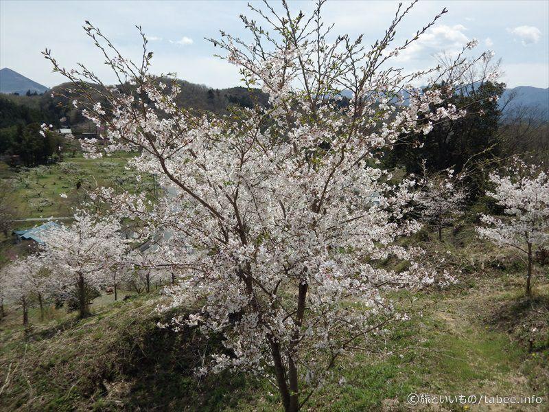 降りる途中の桜8