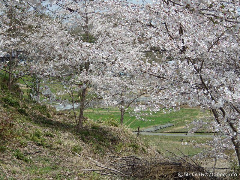 戻ってきたブランコ付近の桜