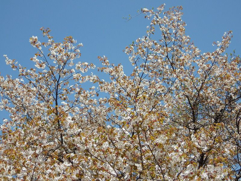 山桜が咲いていました