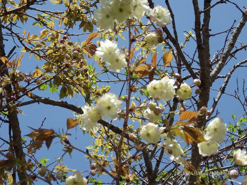 黄桜が咲いていました