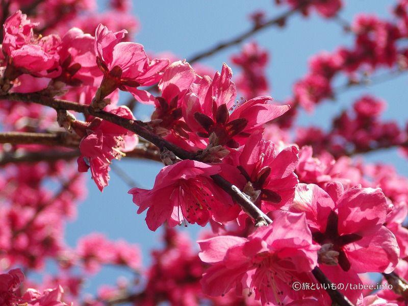 桃の花が鮮やかでした