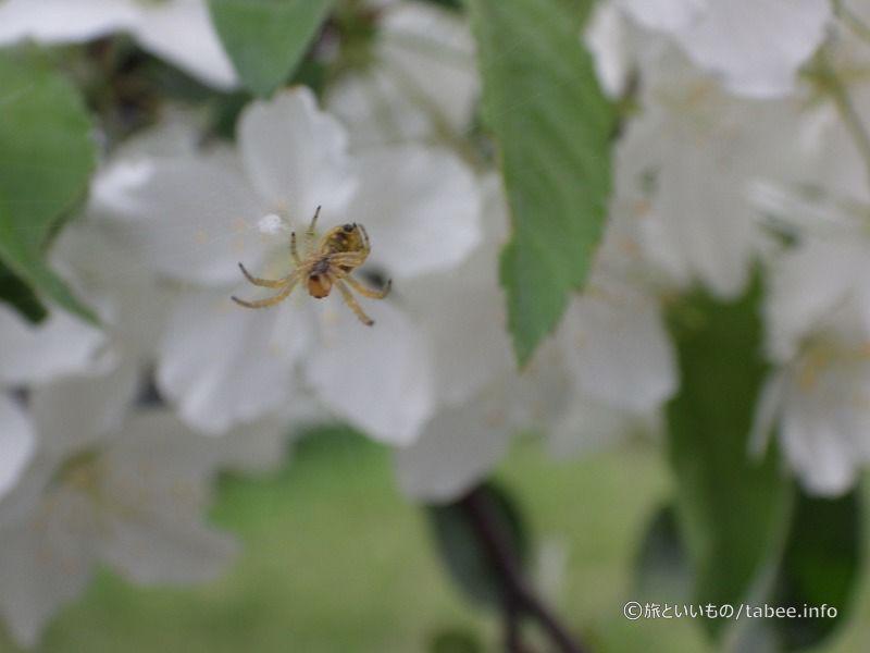 リンゴの木と蜘蛛