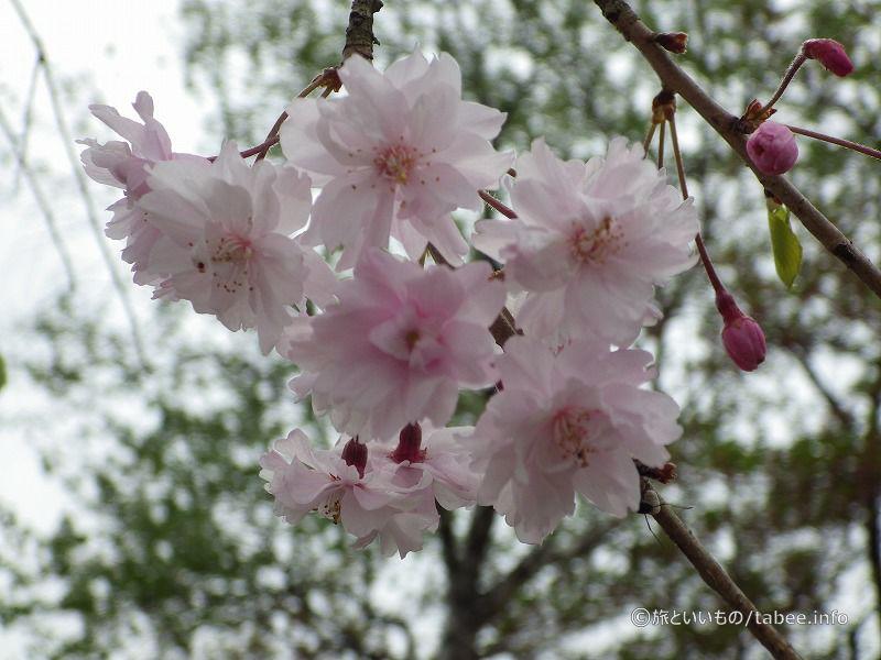 八重桜が咲いていました