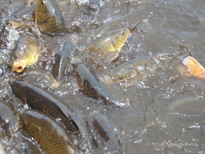 湧きたつ鯉たち