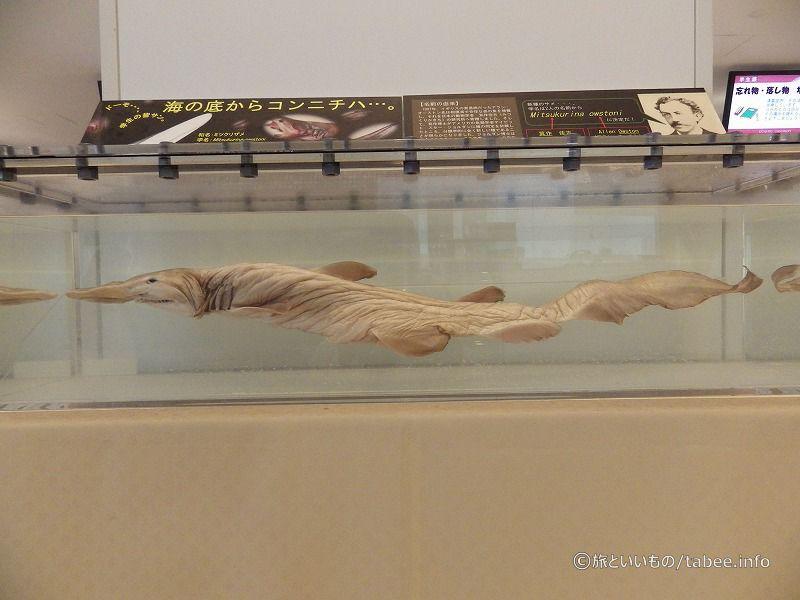 ミツクリザメの標本