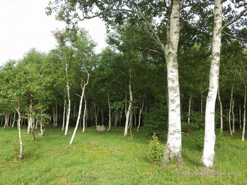 白樺林が綺麗です