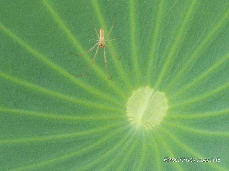 蓮の葉脈と蜘蛛