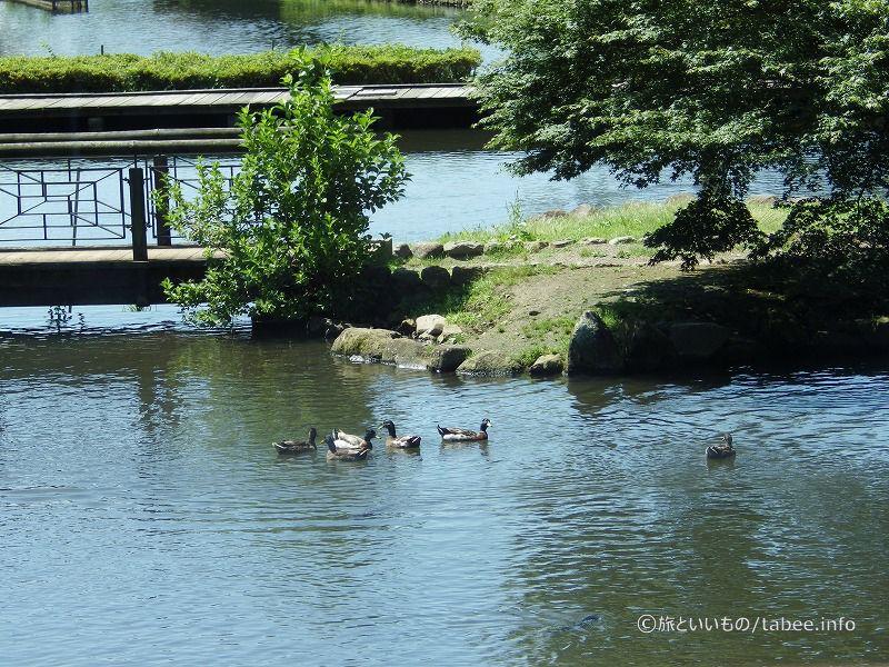 鴨たちも泳いでいます