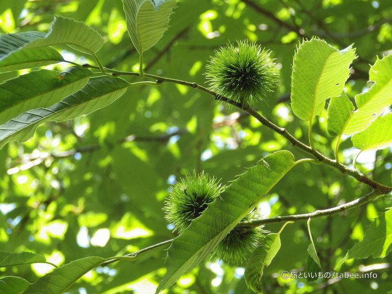 緑の栗の実