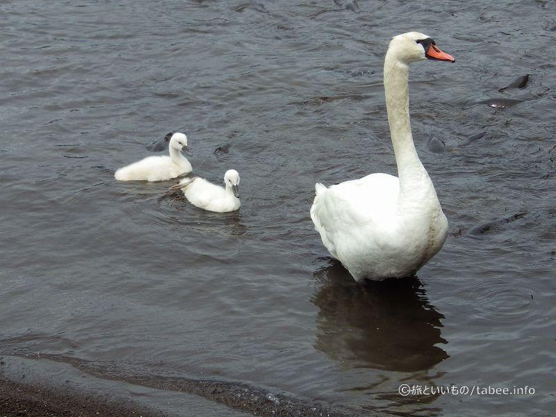 白鳥の親子7月2日