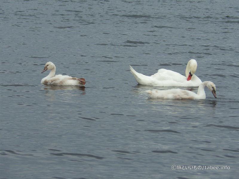 7月28日山中湖の白鳥の親子