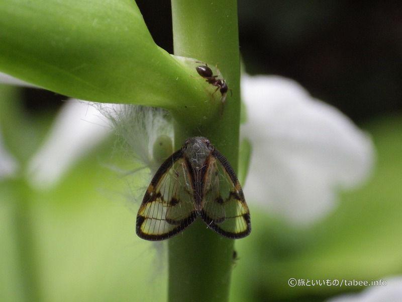 スケバハゴロモ成虫と幼虫そして蟻